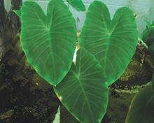 Green Taro