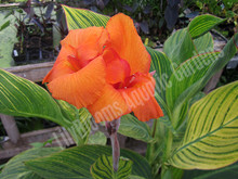 Bengal Tiger Canna- Tropical Bog Plant