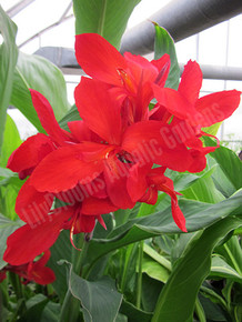 Red Canna (Red King Humbert)- Tropical Bog Plant