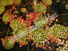 Mosaic Plant- Tropical Bog Plant