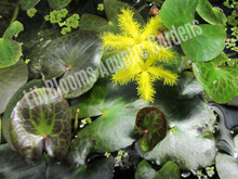 Yellow Snowflake- Tropical Bog Plant