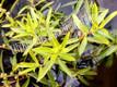 Mermaidweed- Submerged Plant