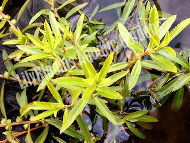 Mermaidweed - Submerged Pond Plants