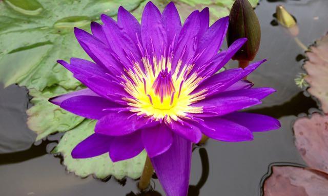 Tropical Water Lilies - Tanzanite