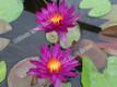 Purple Fantasy - Purple Hardy Water Lily