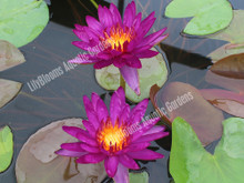 Purple Fantasy - Purple Hardy Water Lily