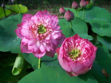 Thousand Petal Hardy Water Lotus