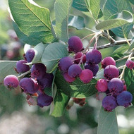 Apple Serviceberry Tree