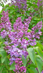 Old Fashioned Lilac Bush