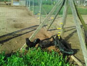 12 Week old  Ayam Cemani Pullets