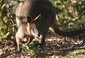 red-wallaby-2-copy.jpg