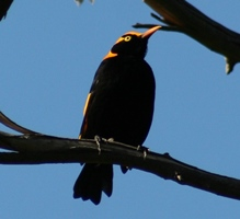 regent-bower-bird-copy.jpg