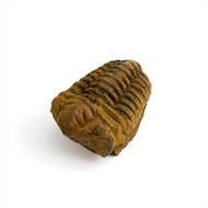 Trilobite - Dicalymine