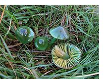 greenmushrooms.jpg