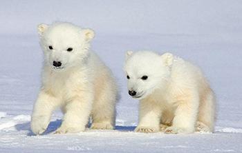 polarbearcubsr.jpg