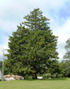 Norway Spruce A+2, over 500 Trees