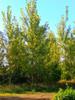 Hybrid Poplar - Bucky 100 Sticks
