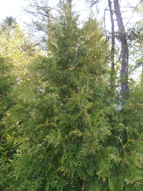 Northern White Cedar Affinity A+2, 500 Trees