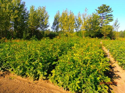 Red Oak Seedlings 2-0, over 500 Trees