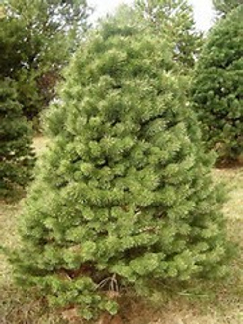 Scotch Pine - Belgium A+2, 50 Trees