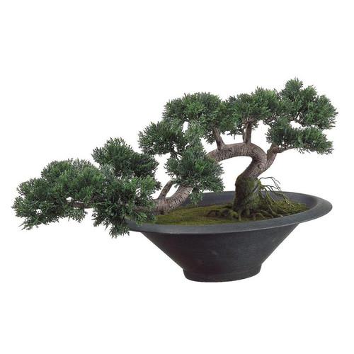 Trailing Cedar Bonsai Tree in Pot