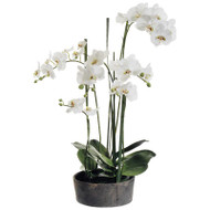 Phalaenopsis Orchid in Clay Pot