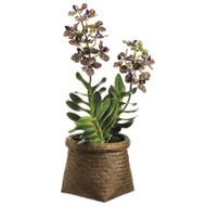 "Vanda Orchid in Basket 22"""