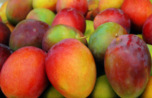 Mangoes may very well be the king of all fruits. They fight cancer, alkalize the body, aid in weight loss, regulate diabetes, help digestion, clean your skin, and make the perfect snack.