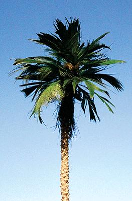 "295-T25 Grand Central Gems 2-Medium Palm Trees (4""-5"")"