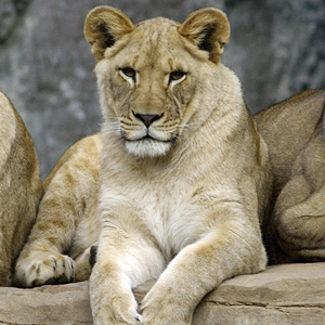 300x300-lions.jpg