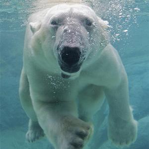 300x300-polar-bear.jpg