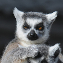 Adopt a Ring-Tailed Lemur