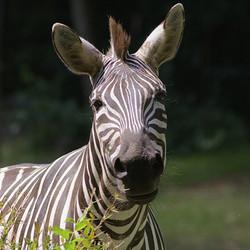 Adopt a Zebra
