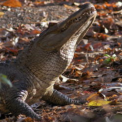 Adopt an American Alligator