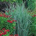 Panicum  Virgatum Strictum Switchgrass