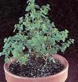 Herb Seeds - Oregano