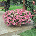Petunia Ramblin Pink