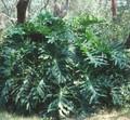 Philodendrum Selloum