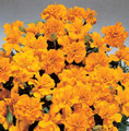 Marigold Seeds - French Safari Orange