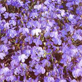 Lobelia Fountain Sereis Blue