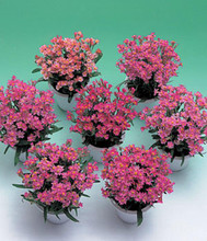Helichrysum Porcelain Rose