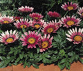 Gazania Kiss Series Rose