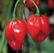 how to grow scotch bonnet peppers from seed