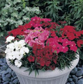 Dianthus Charms Series Magic Mix