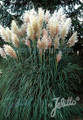 Cortaderia Pampas Grass Selloana Pampas White Seeds