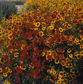 Coreopsis Tall Mix