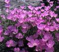 Clarkia Lilac Pixie