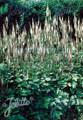 Cimicifuga Racemosa var corifilia Perennial Seeds