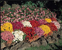 Chrysanthemum Autumn Glory