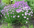 Herb Seeds - Chives Medium Leaf